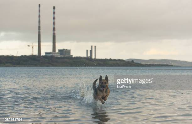 Phoebe a German shepherd dog enjoys running in the sea during low tide in Dublin In two days a historic vote on Prime Minister Theresa May's Brexit...
