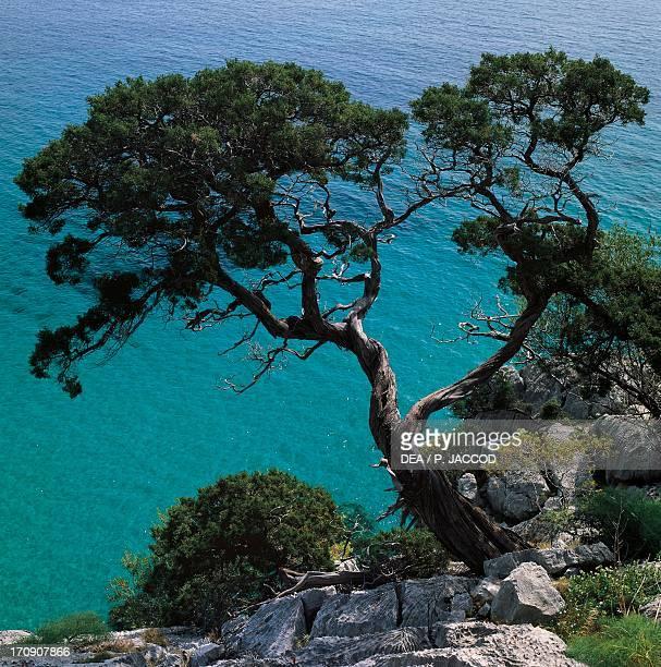 Phoenician juniper near Cala Fuili National Park of the Bay of Orosei and Gennargentu Sardinia Italy