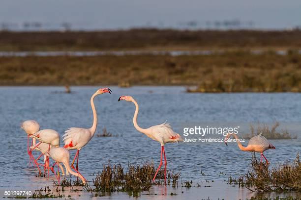 phoenicopterus roseus. greater flamingo. flock of greater flamingo. - サントマリードラメール ストックフォトと画像