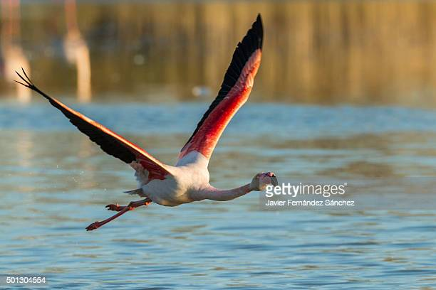 phoenicopterus roseus. greater flamingo flying on water. - greater flamingo stock photos and pictures