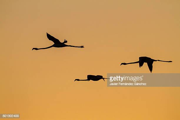 Phoenicopterus roseus. Greater flamingo. Flying. Sunset.