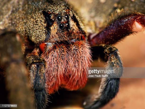phoneutria nigriventer close-up - braziliaanse zwerfspin stockfoto's en -beelden