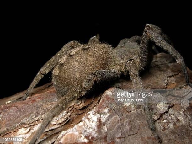 phoneutria nigriventer (brazilian wandering spider) on black background - braziliaanse zwerfspin stockfoto's en -beelden