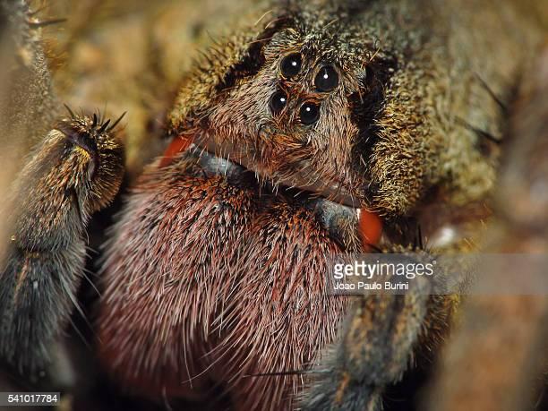 phoneutria nigriventer (brazilian wandering spider, banana spider, armadeira) - braziliaanse zwerfspin stockfoto's en -beelden