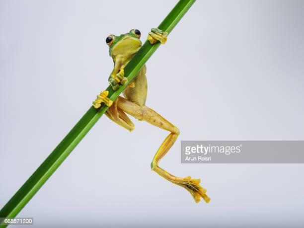Phongsaly tree frog (Rhacophorus kio)