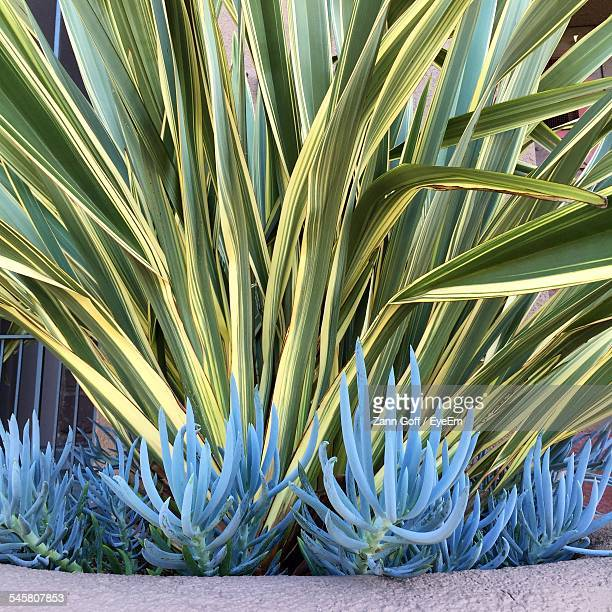 Phormium And Senecio Growing In Garden