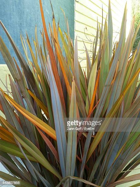 Phormium Growing In Yard