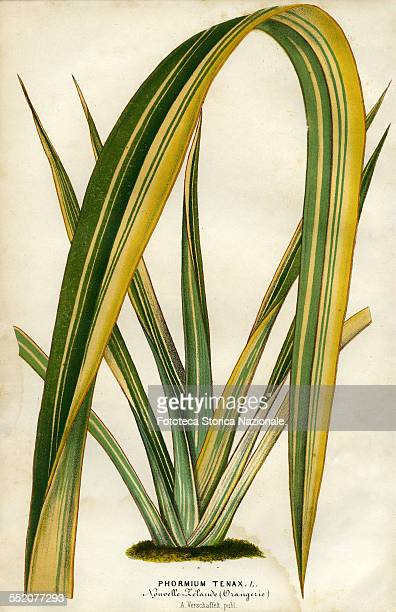 Phormium Tenax New Zealand Evergreen perennial plant native to New Zealand and Norfolk Island Illustration by P Stroobant and lithograph by L...