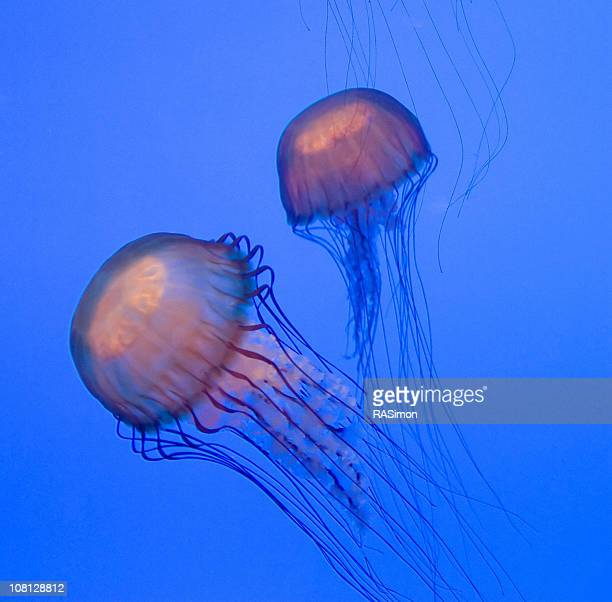 phosphorescent jellyfish - phosphorescence stock pictures, royalty-free photos & images