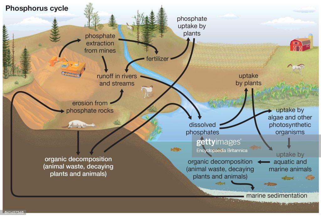 Phosphorus Cycle Diagram  Biogeochemical Cycles  News Photo