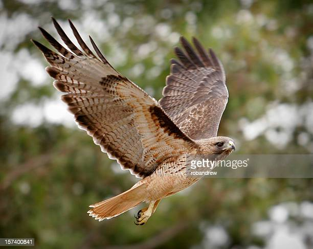 phot of majestic hawk in flight - hawk stock photos and pictures