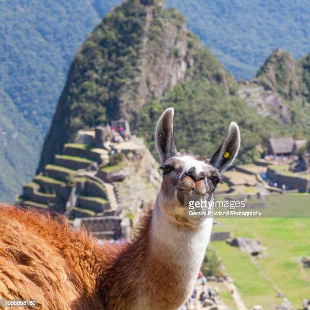 photo bombed by a llama at machu picchu - lama stock pictures, royalty-free photos & images