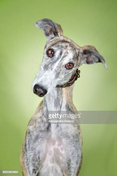 photo by: alessandro manco - whippet stock pictures, royalty-free photos & images
