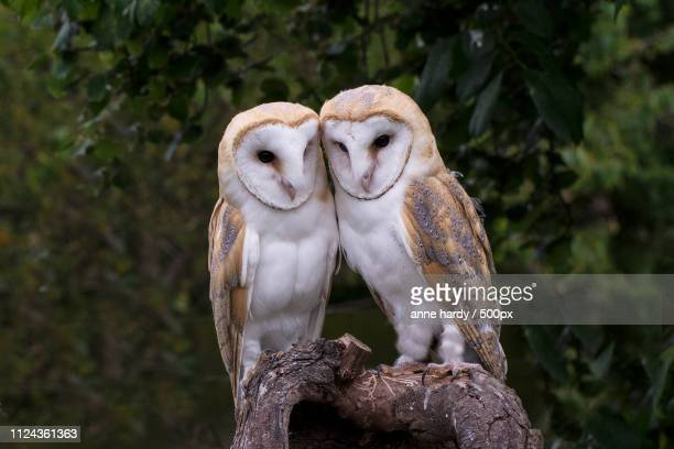 photo by: anne hardy / 500px - barn owl stock pictures, royalty-free photos & images