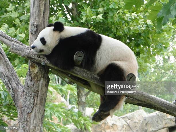 photo by: beuaze photography - giant panda stock photos and pictures