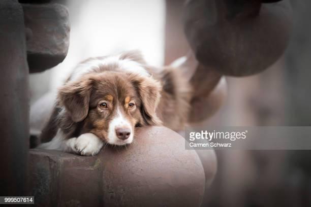 photo by: carmen schwarz - australian shepherd puppies stock pictures, royalty-free photos & images