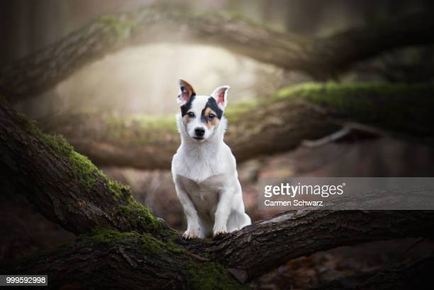 photo by: carmen schwarz - jack russell terrier - fotografias e filmes do acervo