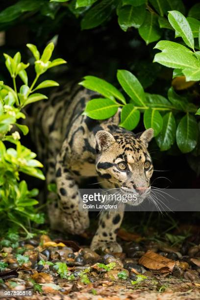 photo by: colin langford - clouded leopard stock photos and pictures