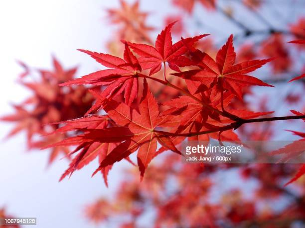 photo by: jack jiang / 500px - japanese maple stock-fotos und bilder