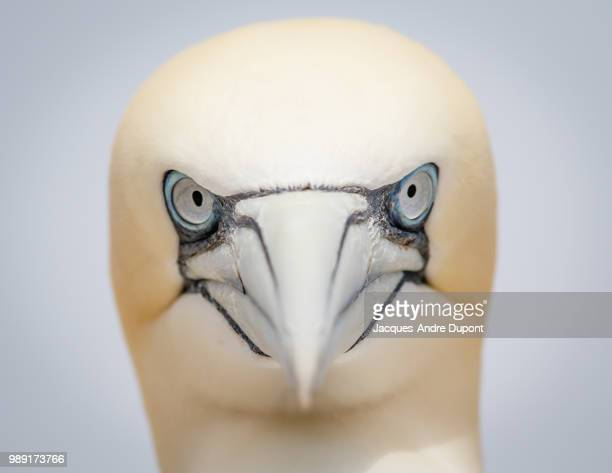 photo by: jacques-andre dupont - northern gannet stockfoto's en -beelden