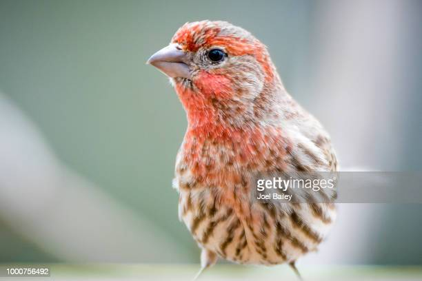 photo by: joel bailey - house finch stock pictures, royalty-free photos & images