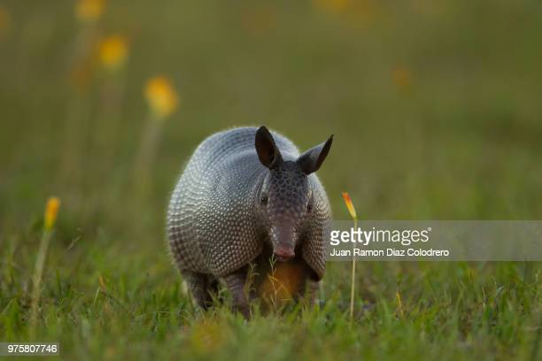photo by: juan ramon diaz colodrero - armadillo stock pictures, royalty-free photos & images