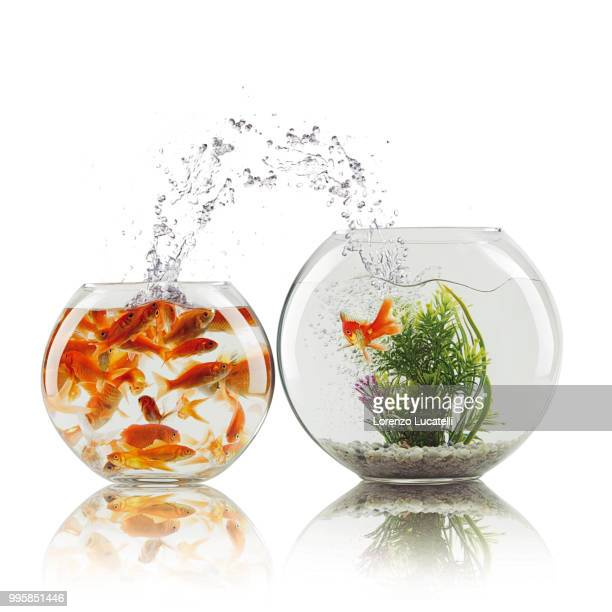 photo by: lorenzo lucatelli - goldfish leap stock pictures, royalty-free photos & images