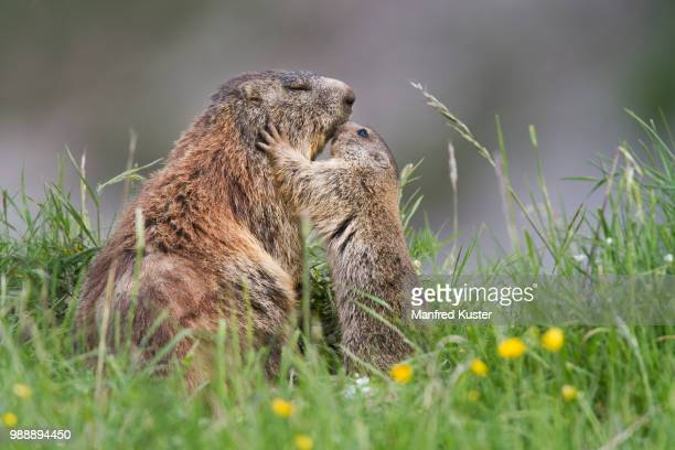 photo by: manfred kuster - woodchuck stock pictures, royalty-free photos & images