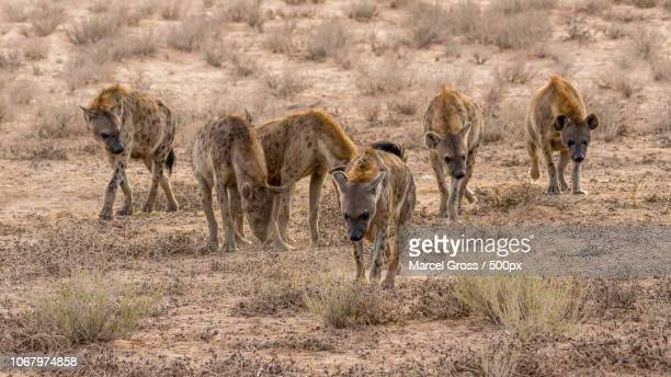 photo by: marcel gross / 500px - hyena stock pictures, royalty-free photos & images