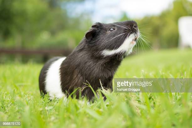 photo by: nahuel broggia - guinea pig stock pictures, royalty-free photos & images