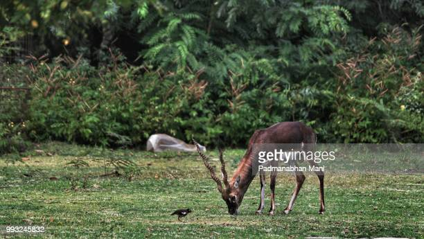 photo by: padmanabhan mani - springbok deer stock photos and pictures