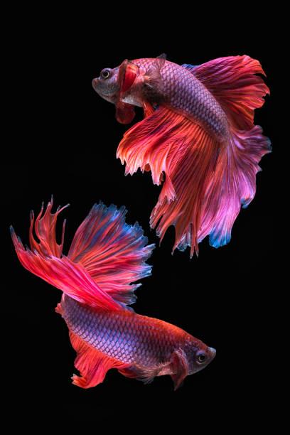 Canvas Prints of Siamese Fighting Fish Art - GalleryDirect com