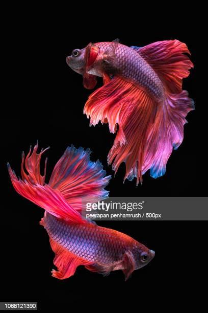 photo by: peerapan penhamrush / 500px - siamese fighting fish stock pictures, royalty-free photos & images