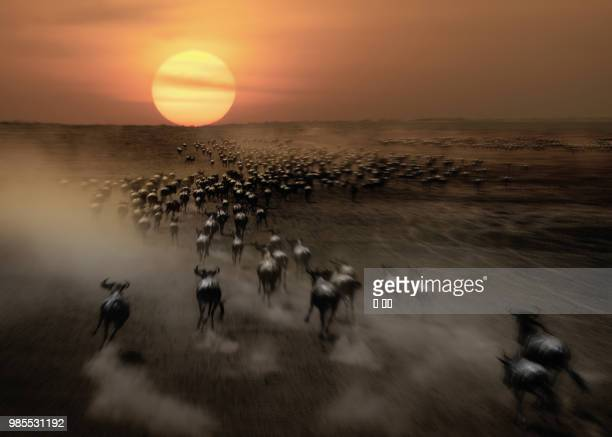 photo by: 戎 国辉 - animal migration stock pictures, royalty-free photos & images