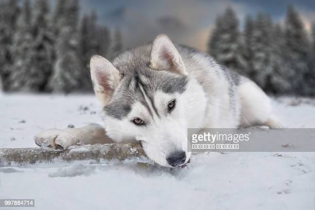 photo by: владимир черкасов - malamute stock pictures, royalty-free photos & images