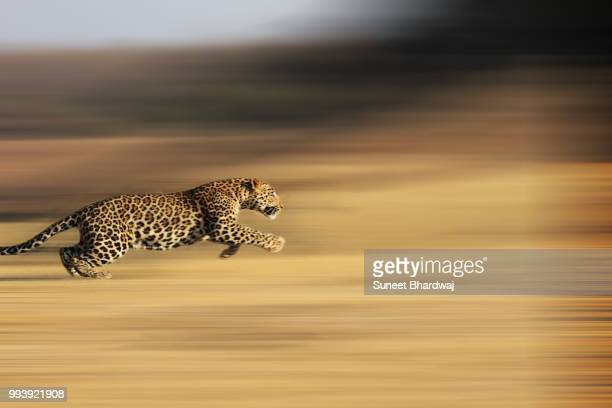 photo by: suneet bhardwaj - leopard photos et images de collection