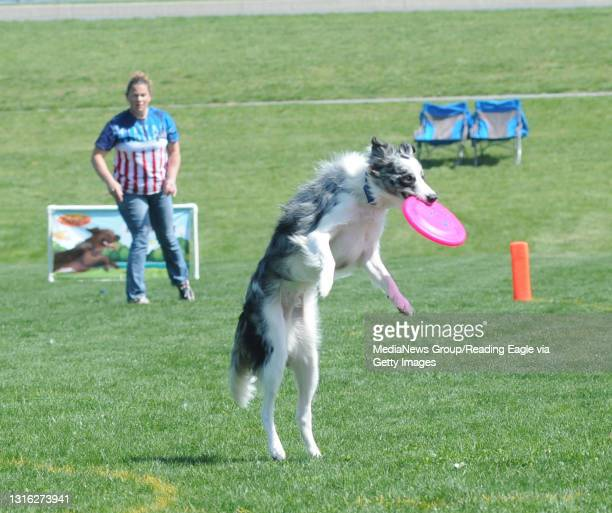 Photo by Tim Leedy 5/5/13Hyperflite Skyhoundz Competition.at Jim Dietrich Park.Margie Fluke of Barto and Sharpie an Australian Shepherd in the...