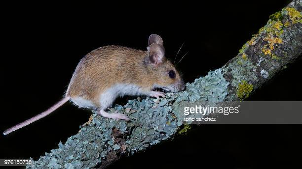 photo by: toño sanchez - field mouse stock photos and pictures
