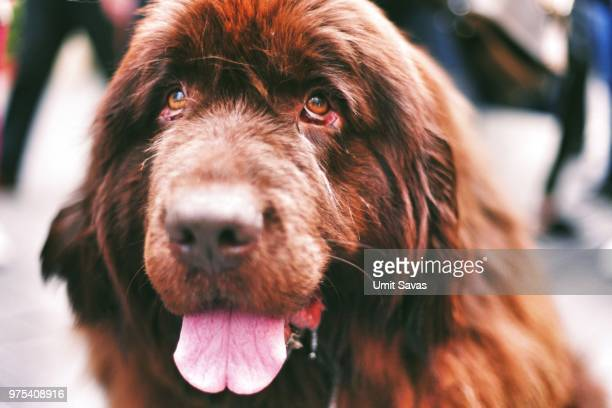 photo by: umit savas - newfoundland dog stock photos and pictures