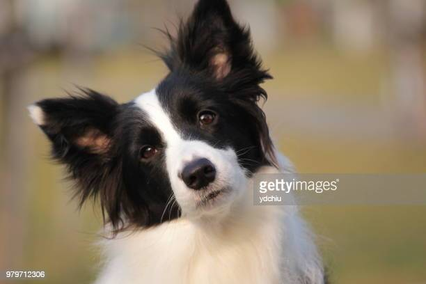photo by: ydchiu - papillon dog stock photos and pictures