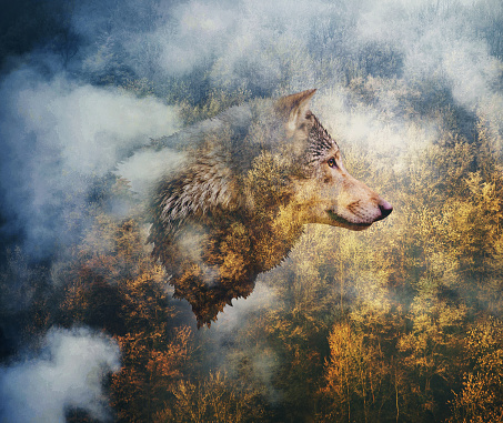 Photo Collage: Head of the Wolf on the Background of Autumn Forest 956850726