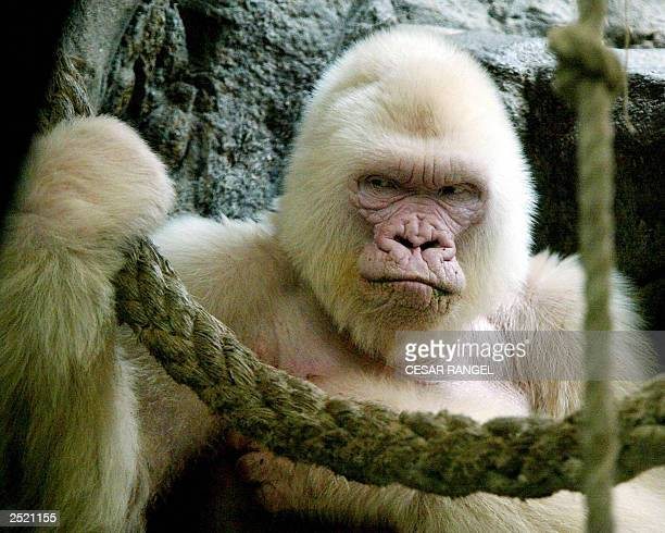 Photo dated 14 September 2003 shows 40yearold Copo de Nieve the only albino gorilla in the Barcelona zoo Spain Zoo specialists said that the gorilla...