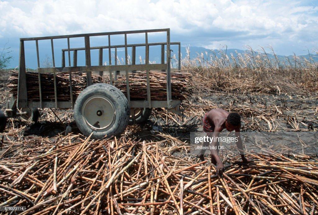 DOMINICAN REPUBLIC. MIGRANT WORKERS FROM HAITI CUTTING SUGAR CANE NEAR BARAHONA. Photo© Julio Etchart CDREF00613 : News Photo