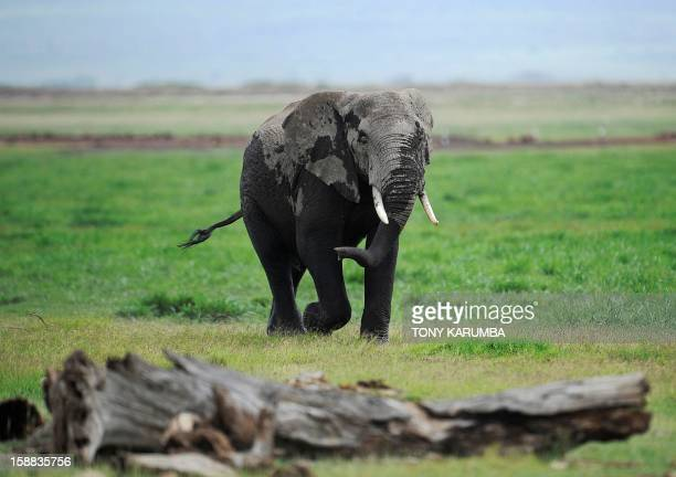 Photo made on December 30, 2012 shows an elephant at the Amboseli game reserve, approximately 250 kilometres south of Kenyan capital Nairobi. Drawing...