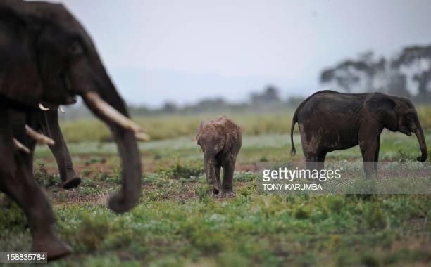 Photo made on December 30, 2012 shows elephants at the Amboseli game reserve, approximately 250 kilometres south of Kenyan capital Nairobi. Drawing...