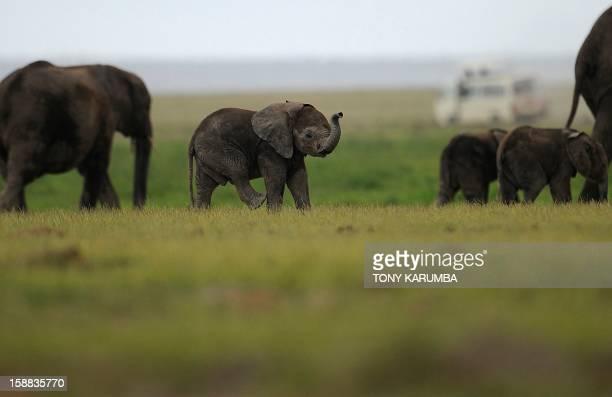 Photo made on December 30, 2012 shows elephants calves at the Amboseli game reserve, approximately 250 kilometres south of Kenyan capital Nairobi....