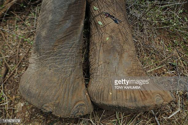 Photo made on March 19, 2012 shows poison-arrow-heads retreived from an elephant sedated by Kenya Wildlife Services, KWS and the International Fund...