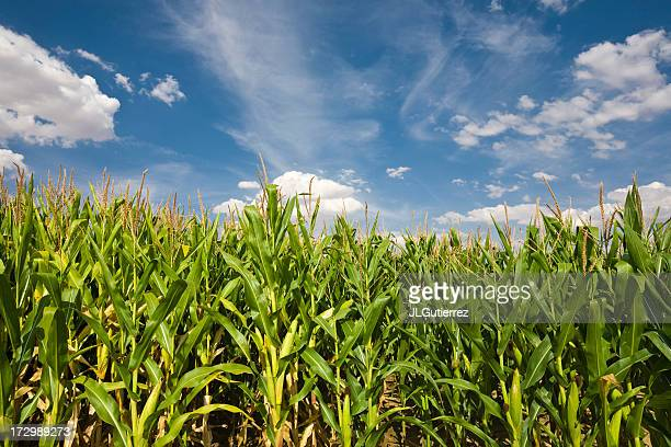 Photo of a dense cornfield before a blue and cloudy sky