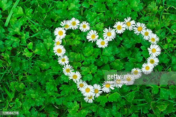 Photo of a heart made up of white daisies laid on green clover