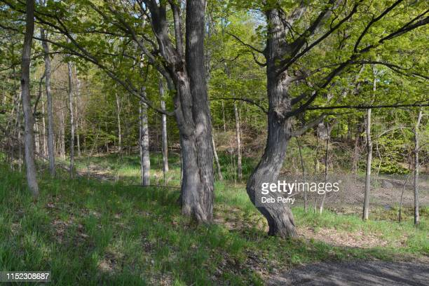 photo of a rather humorous crooked tree - fanny pic stock photos and pictures